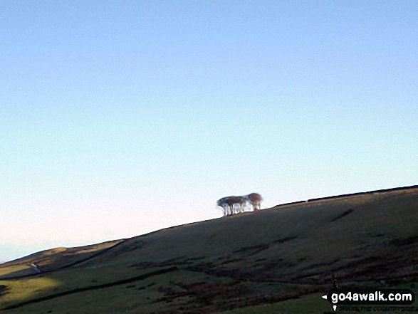 The Elephant Trees from White Kirkley