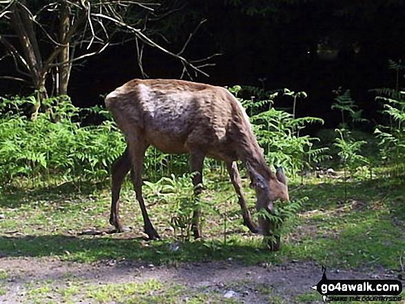Deer on Bainloch Hill