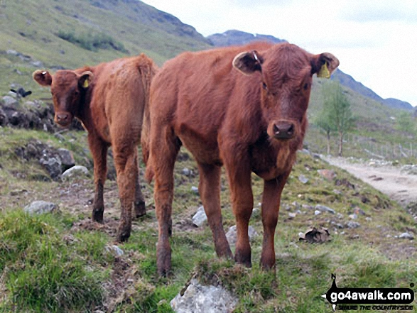 Calfs in Inverlochlarig Glen Anybody need a couple of bookends?