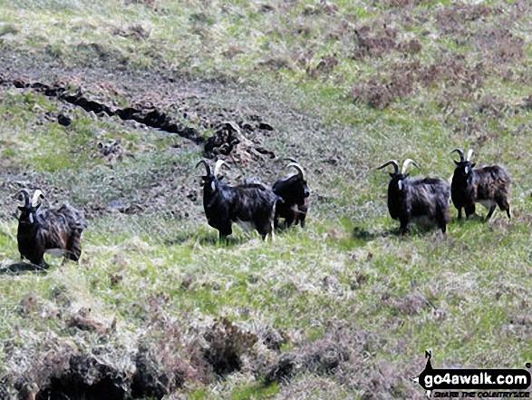 Mountain Goats above Ben Glas Burn