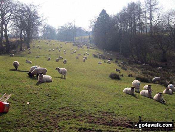 Sheep near Turner's Pool