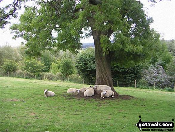 Sheep in the Vale of York - on an alternative coast to coast walk