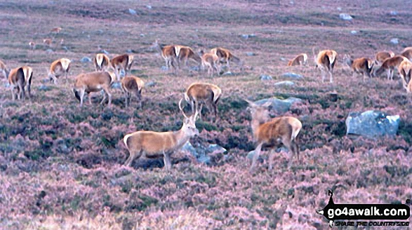 Deer in Glen Muick
