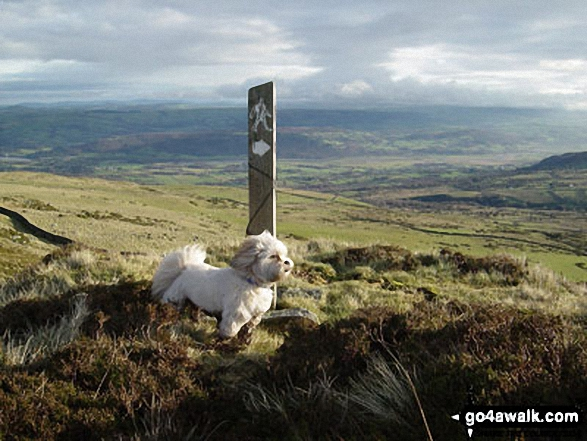 On Tal y Fan heading towards Cae Coch with the Conwy Valley in the background (The Llahsa Apso dog is called Tess)