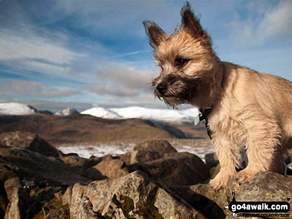 My Cairn Terrier 'Jessie' on Carnedd Moel Siabod. Walk route map cw178 Carnedd Moel Siabod from Pont Cyfyng, Capel Curig photo