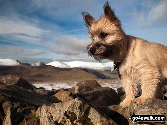 My Cairn Terrier 'Jessie' on Carnedd Moel Siabod