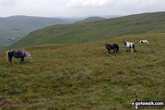 Wild Ponies on Whinash