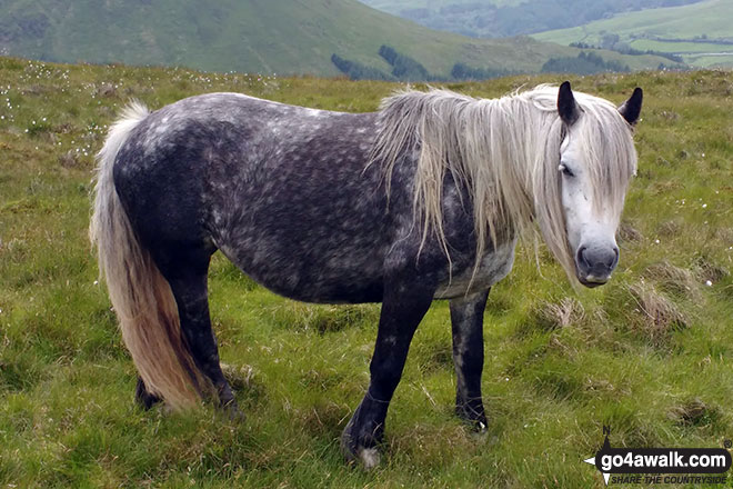 Wild Pony on Whinash