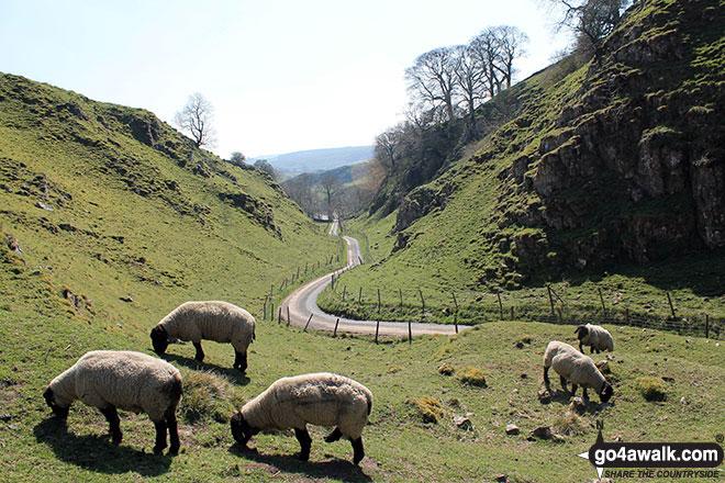 Sheep grazing in Dowel Dale