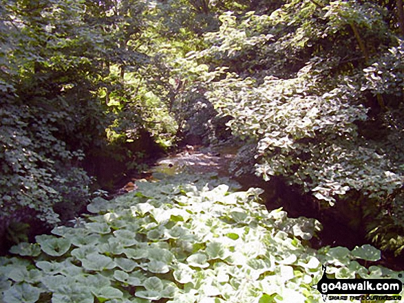 The River Sett under a blanket of Water Lilies beside The Sett Valley Trail near Hayfield. Walk route map d171 Lantern Pike and Cown Edge Rocks from Hayfield photo