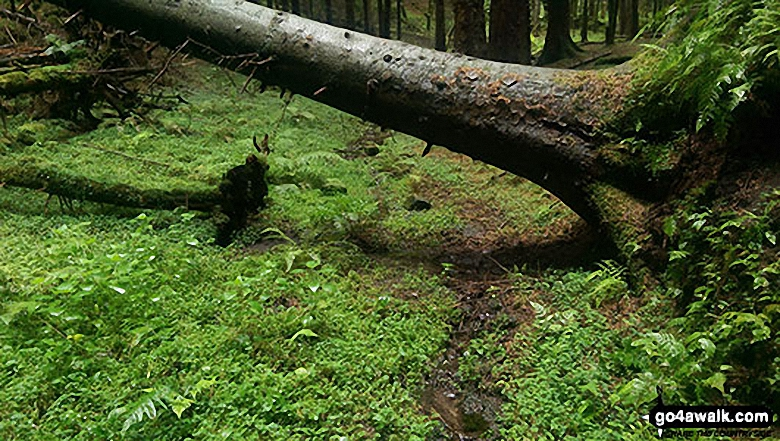 A fallen tree with babbling stream in Parkin Clough