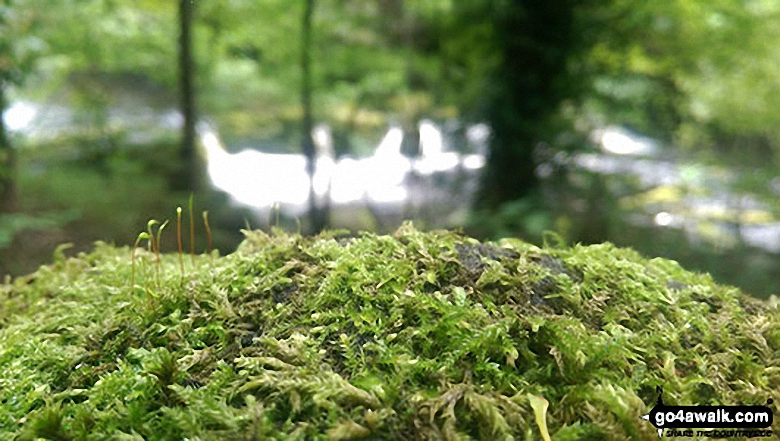 Moss in Wiseman Hey Clough Woods with the River Derwent in background