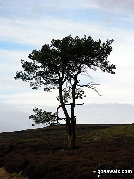 A lone tree on Fremington Edge
