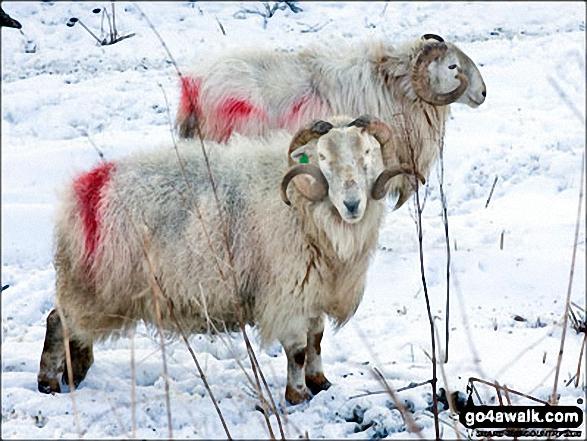 Hardy sheep near Afon Eiddew in the snow