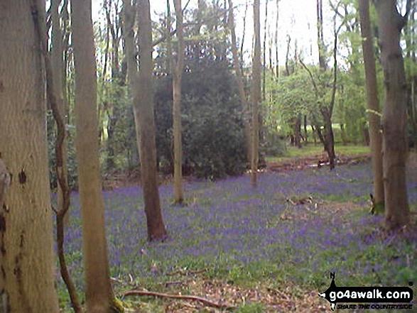 Bluebell Wood, Fingest