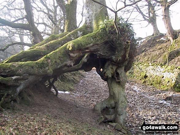 Unusual tree on the track beside Flinter Gill near Dent