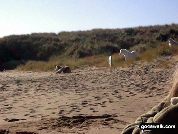 Wild horses on Llanddwyn Island