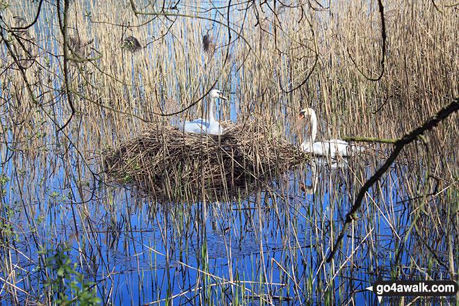Swans nesting on Pick Mere