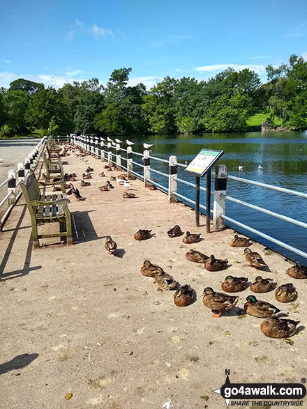 Ducks sunning themselves on the shore of Redes Mere