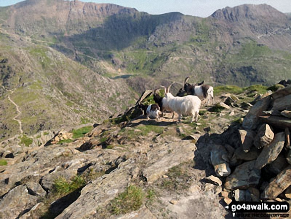 Goats on the summit of Y Lliwedd with Garnedd Ugain (Crib y Ddysgl) (left) and Crib Goch (right) in the distance. Walk route map gw198 The Welsh 3000's (Snowdon Area) from Pen y Pass photo