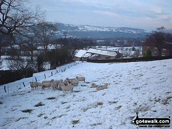 Sheep above Strines in snow