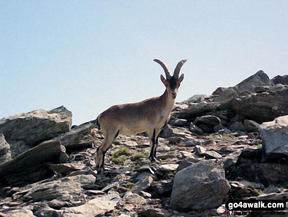 Goat on Cerro Boto