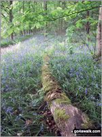 Bluebell Haze coming late this year